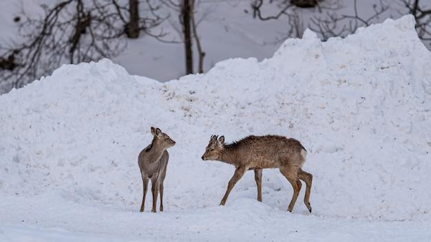Rentier im winter