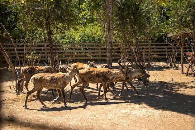 Rentiere, die im zoo laufen