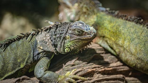 Reptil grüner leguan