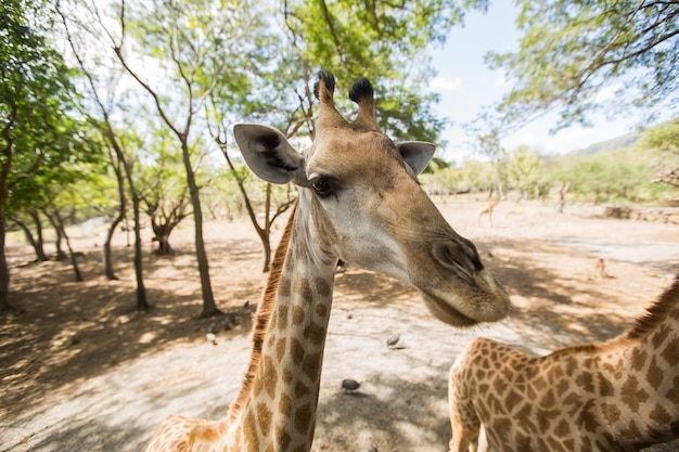 Retikulierte giraffe. mauritius.