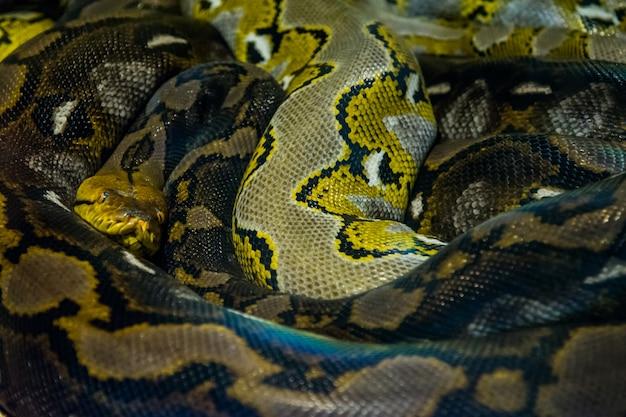 Retikulierte python im dschungel