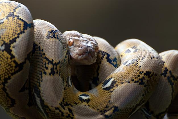 Retikulierte pythonschlange um einen ast gewickelt