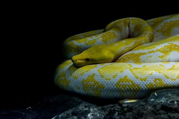 Retikulierter python albino im dschungel