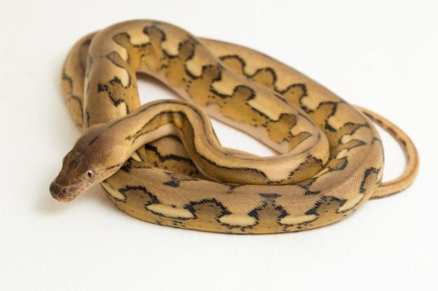 Retinulierte pythonschlange mit platin-tiger