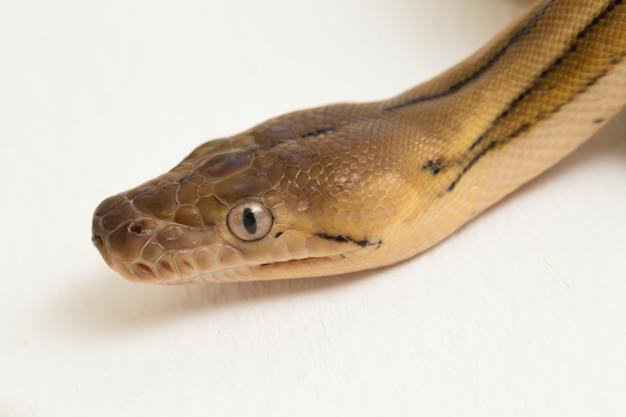Retinulierte pythonschlange mit platin-tiger Premium Fotos