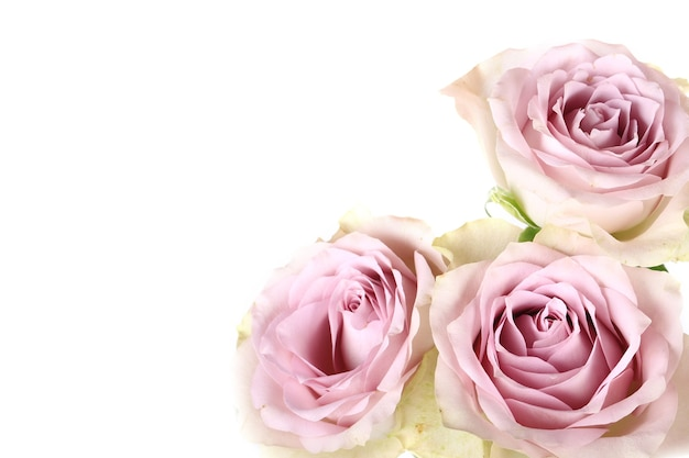 Retro-rosen shabby chic isoliert auf weißem hintergrund