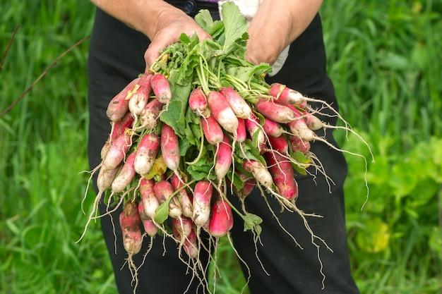 Rettich in der hand. hände gärtner. abgenutzte hände. bauernhände mit frischem rettich. frisch gepflücktes gemüse. ungewaschene radieschen mit spitzen.