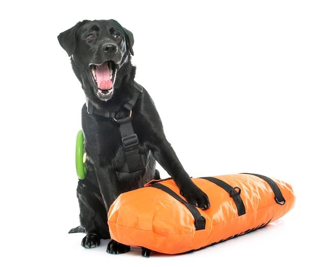 Rettung labrador retriever