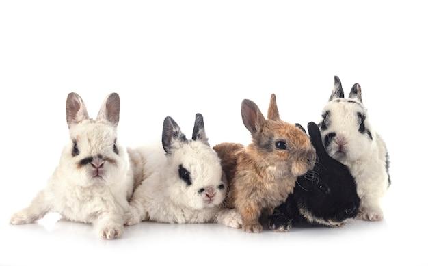 Rex kaninchen vor weiß