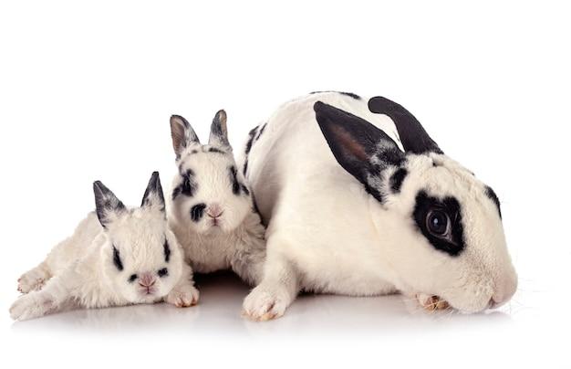Rex kaninchen vor weißem hintergrund