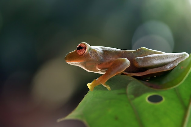 Rhacophorus prominanus oder der malaiische laubfrosch auf grünem blatt