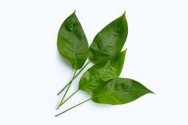 Rhaphidophora tetrasperma mini monstera grüne blätter auf weißer oberfläche.