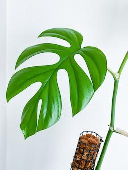 Rhaphidophora tetrasperma oder mini monstera zimmerpflanze