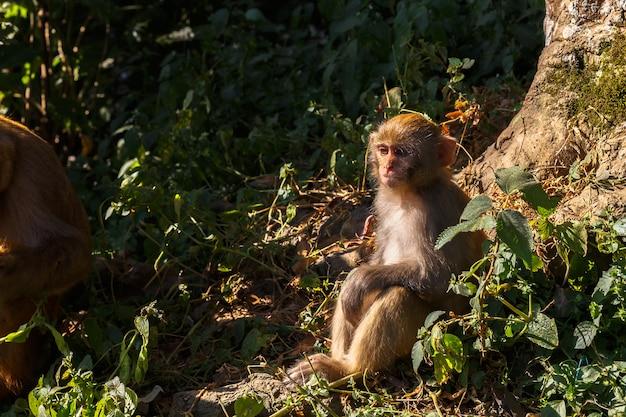 Rhesus-makaken-affe
