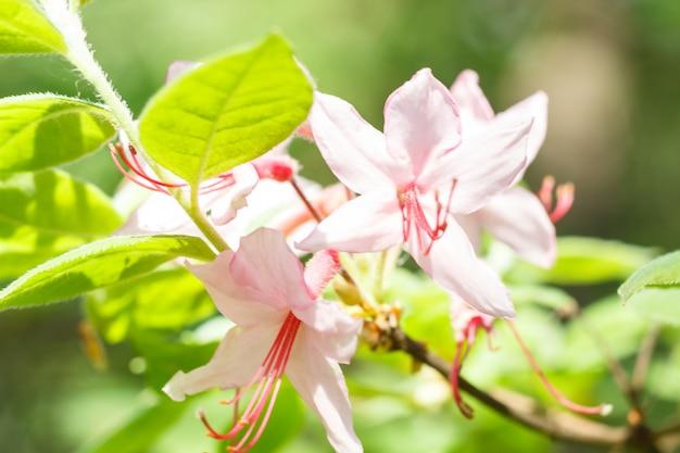 Rhododendron (azalee) blüht im frühjahr garten der verschiedenen farben