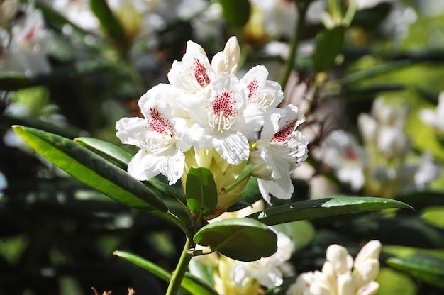 Rhododendron cunningham weiße blüten. tropischer garten im frühjahr. rhododendron-blütezeit im april, mai.