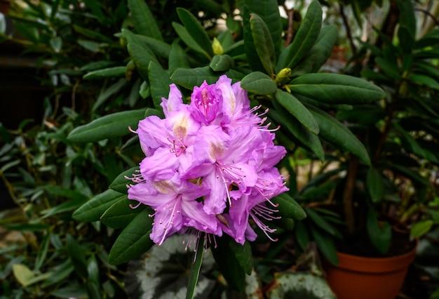 Rhododendron leuchtend rosa blume. botanischer garten. schöne grüne pflanzen. leuchtend gelbe blüte.