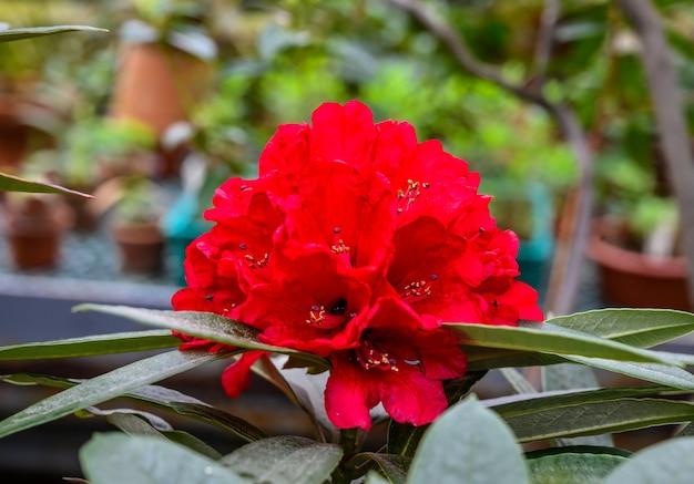 Rhododendronrot. buzuki. botanischer garten schöne grüne pflanzen. viele sämlinge in töpfen.