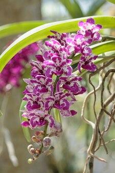 Rhynchostylis gigantea orchideen-blume in einer orchideenfarm.