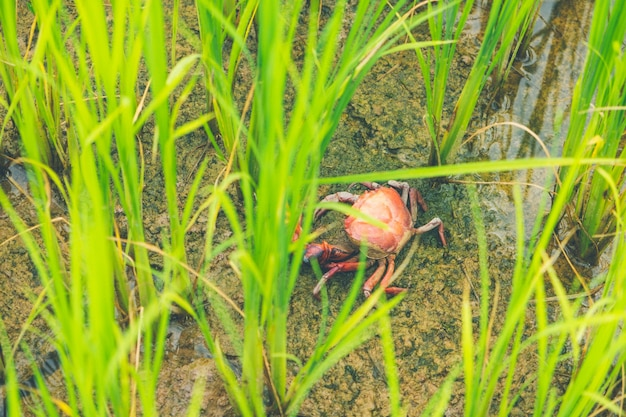 Ricefield-krabbe (frischwasserkrabbe) in reisfeld thailand-grünreisbauernhof und asiatischer landwirt i