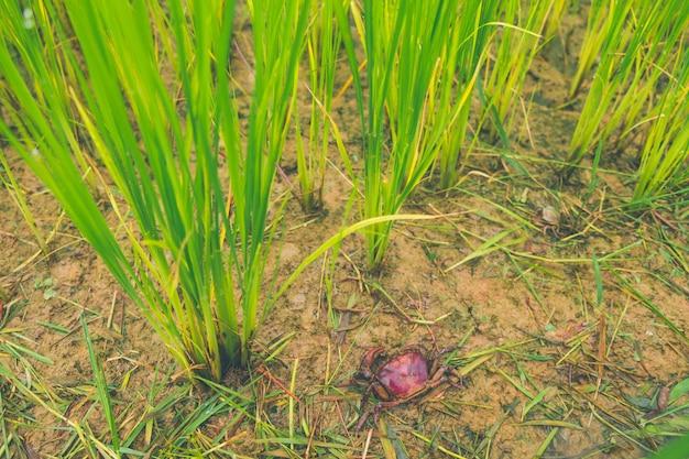 Ricefield-krabbe (frischwasserkrabbe) in reisfeld thailand-grünreisbauernhof und asiatischer landwirt