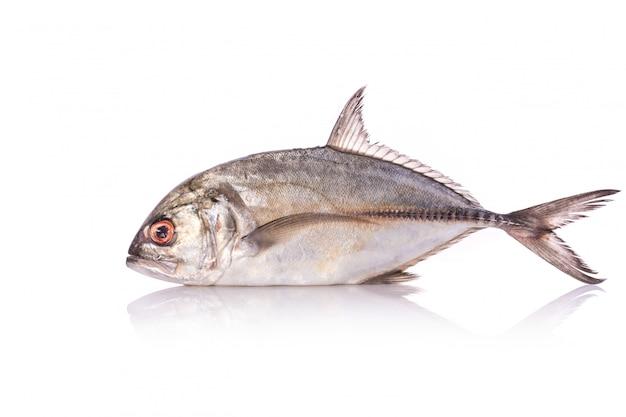 Riesen-makrelen, riesen-kingfish oder caranx.