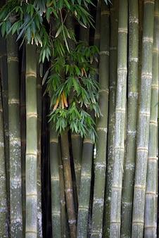 Riesenbambus, der höchste bambus, eine grasart, die mehr als 91 gattungen und über 1000 arten umfasst