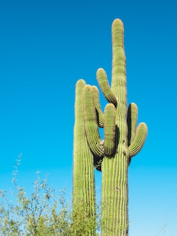 Riesenkaktus in der arizona-wüste, usa