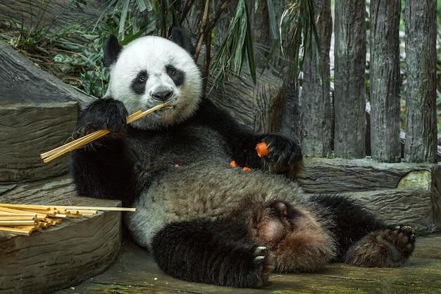 Riesenpanda isst einen bambus im zoo