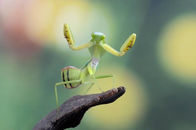 Riesenschild-mantis-nahaufnahme mit selbstverteidigungsposition schild-mantis-nahaufnahme auf