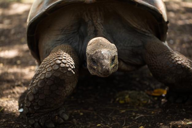Riesenschildkröte auf mauritius.