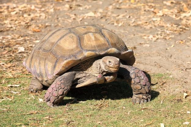 Riesenschildkröte, die auf der erde geht