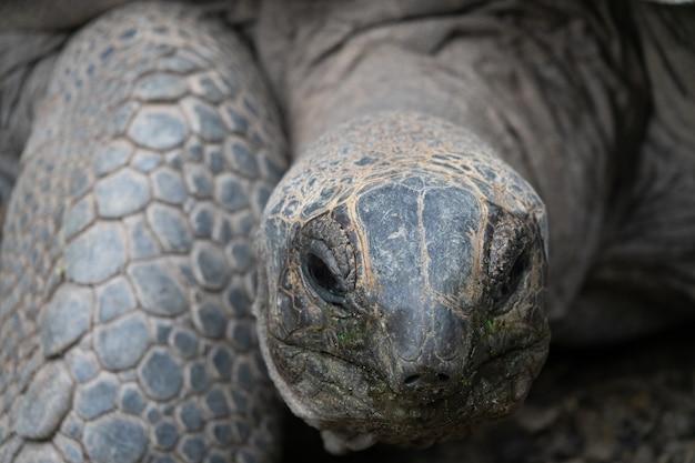 Riesenschildkröte im zoo