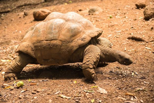 Riesenschildkröten (dipsochelys gigantea) im tropischen park auf mauritius