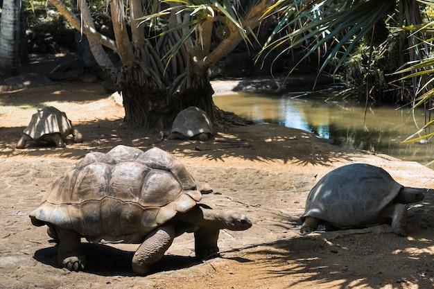 Riesenschildkröten dipsochelys gigantea in einem tropischen park auf der insel mauritius im indischen ozean