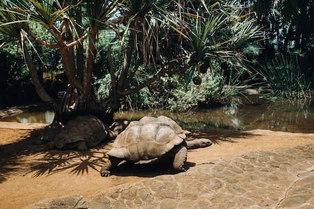 Riesenschildkröten dipsochelys gigantea in einem tropischen park auf der insel mauritius im indischen ozean.