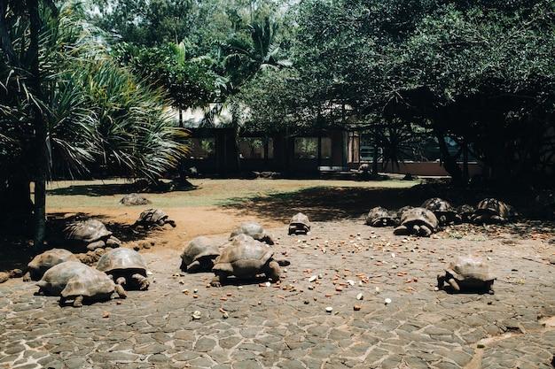 Riesenschildkröten fressen dipsochelys gigantea in einem tropischen park auf der insel mauritius im indischen ozean