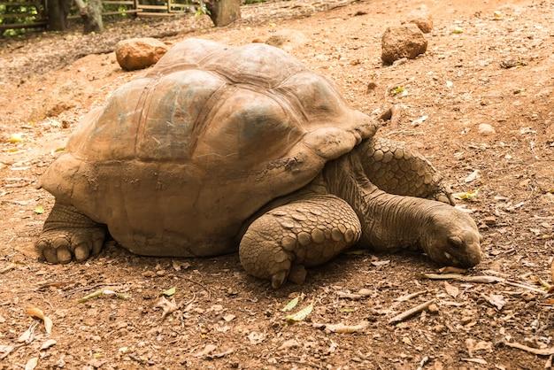 Riesenschildkrötenruhe