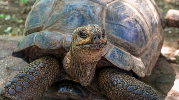 Riesige afrikanische schildkröte aldabra auf einer insel im indischen ozean.