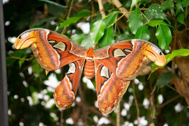 Riesige atlas moth-aka orange schmetterling im grünen blatt, nahaufnahme schönen riesigen schmetterling,