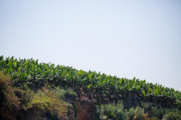 Riesige bananenplantagen an einem sonnigen sommertag. bananenhain in einer tropischen region am hang