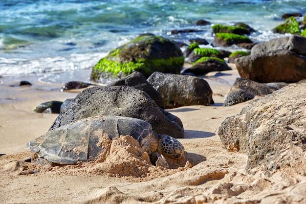 Riesige grüne meeresschildkröte am strand von laniakea, hawaii