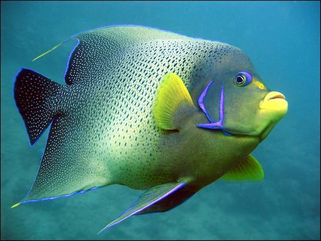 Riesige grüne und gelbe korallenrifffische
