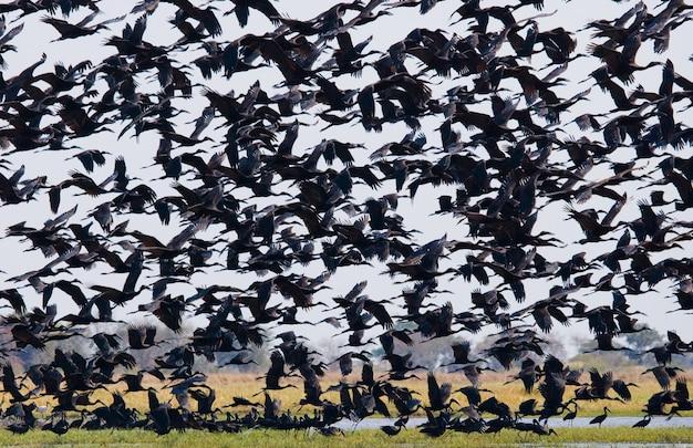 Riesige herde afrikanischer störche mit offener rechnung im flug
