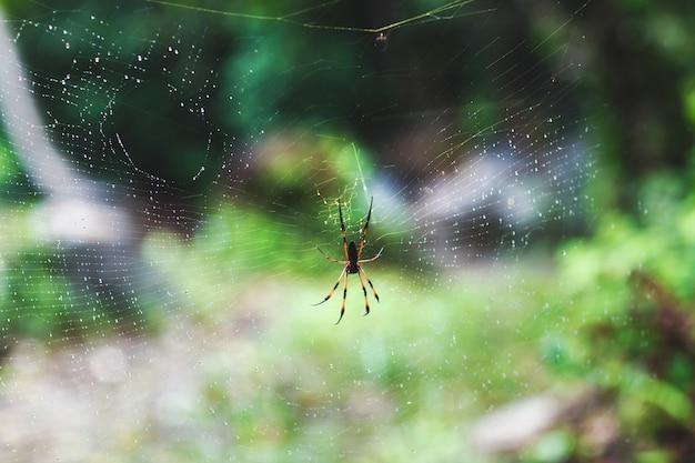 Riesige holzspinne auf spinnennetz nach regen und unschärfe