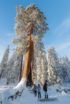 Riesige mammutbaum-bäume im walddunringwinter