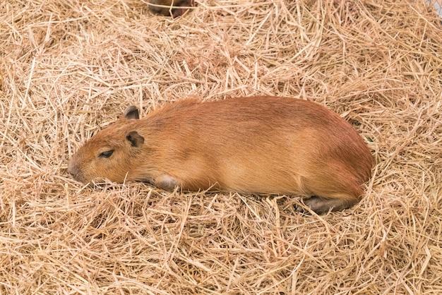 Riesige ratte oder capybara