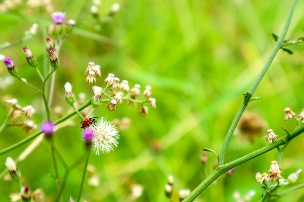 Riesige rote wanzeninsekten klettern blumen von blühenden unkraut