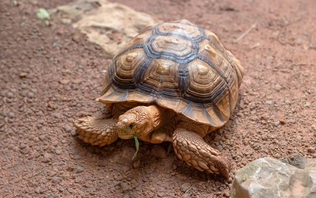 Riesige sandschildkröte, die grünes gras isst