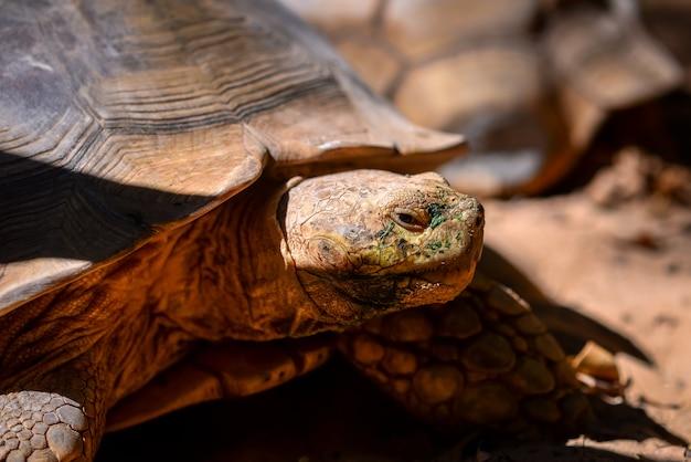 Riesige spornschildkröte (centrochelys sulcata)